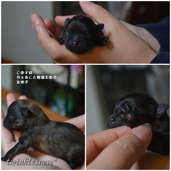 ポメラニアン赤ちゃん