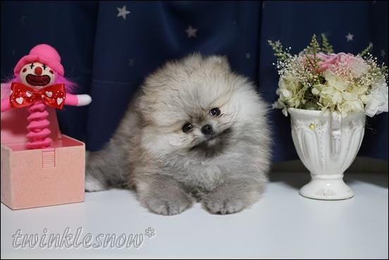 白いポメラニアンの子犬