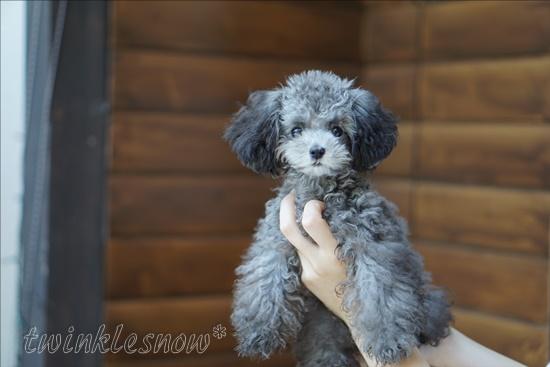 シルバー ティーカッププードル 交配犬