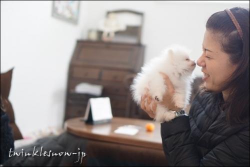 ホワイトポメラニアン 子犬