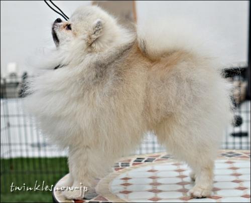 ポメラニアン 交配犬