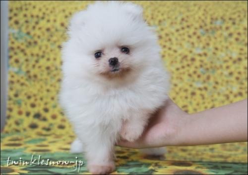 ホワイトポメラニアン子犬
