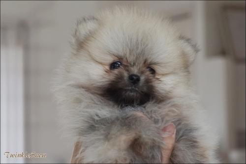 ポメラニアン子犬