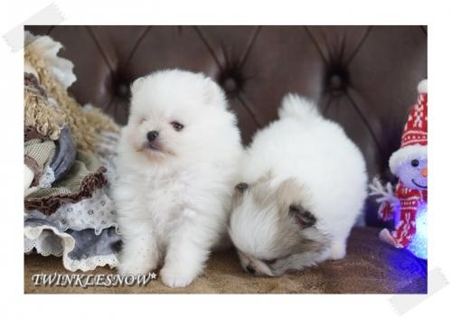 パーティポメラニアン子犬