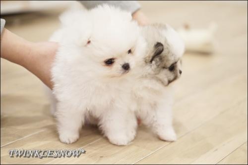 白ポメ 子犬