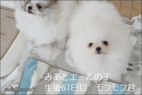 ホワイトポメラニアンの子犬