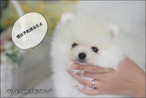 可愛いポメラニアン子犬