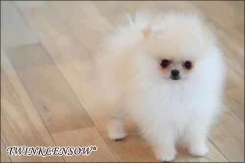 可愛いポメラニアンの子犬