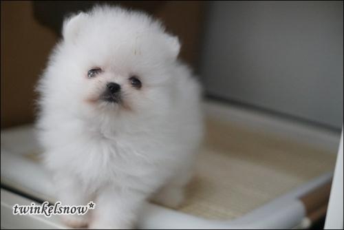 ポメラニアン子犬情報