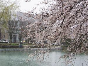 国際会議場前の桜