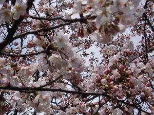 桜の花のいいにおい