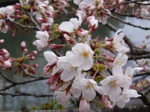 お家のそばの川辺の桜です