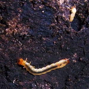 何かの幼虫
