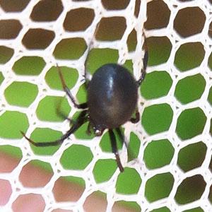 クロマルイソウロウグモ