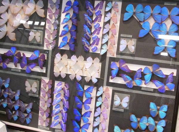 モルフォ蝶標本