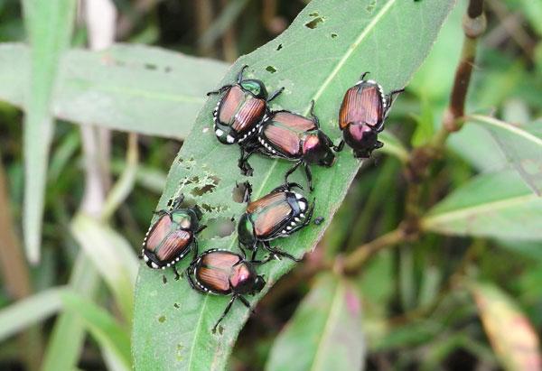 マメコガネの集団