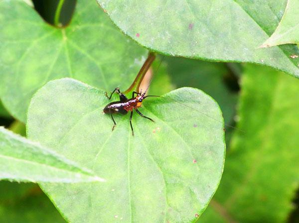 ササキリ幼虫