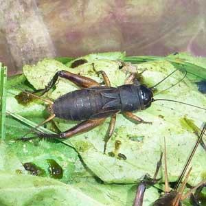 エンマコオロギ幼虫