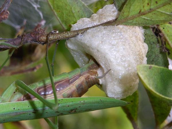オオカマキリの卵鞘
