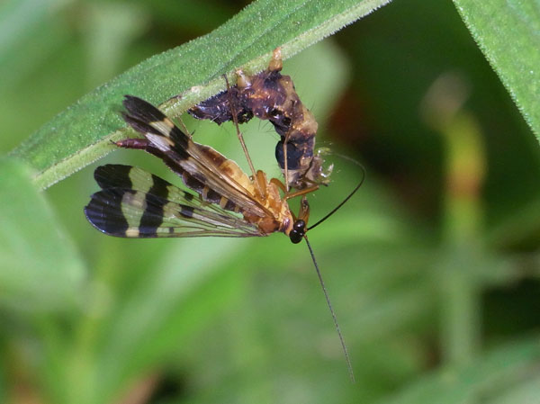 ヤマトシリアゲ夏型♀