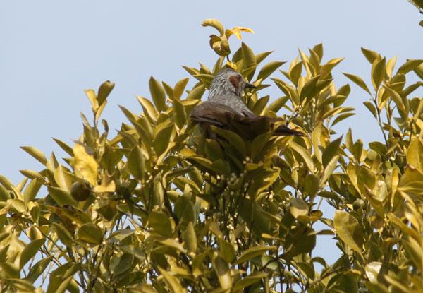 キンカンに来たヒヨドリ
