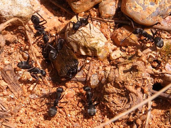 獲物を運ぶクロヤマアリ