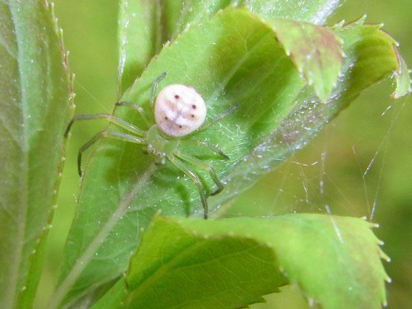 コハナグモ