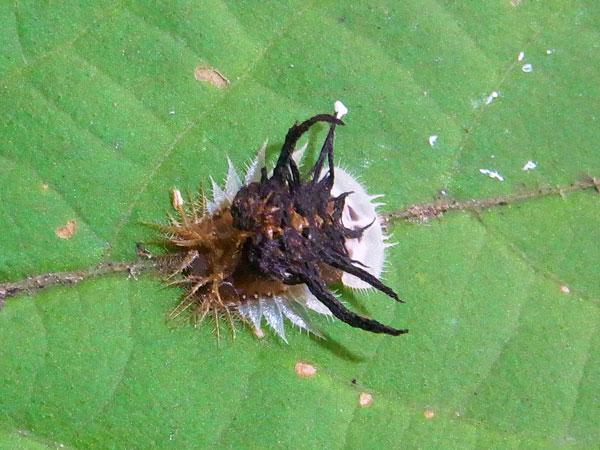 イチモンジカメノコハムシ蛹
