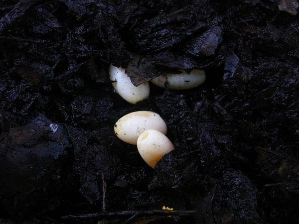 カナヘビの卵