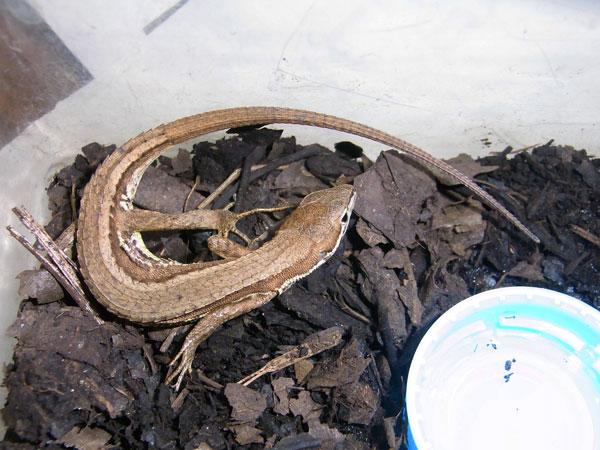 カナヘビのお母さん