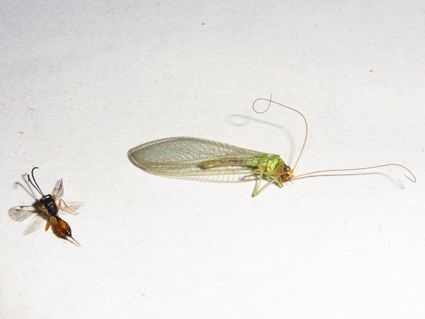 クサカゲロウと寄生蜂