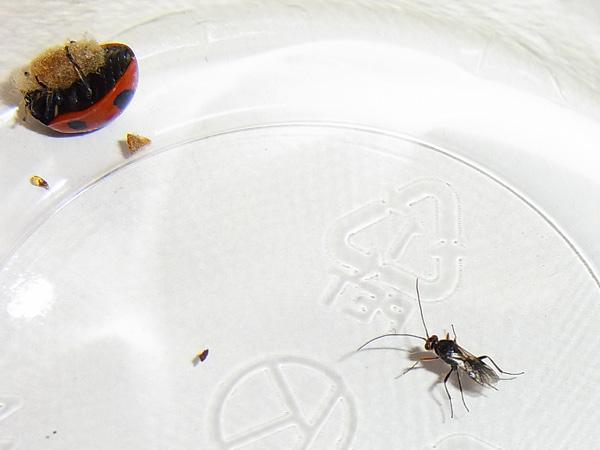 テントウムシと寄生蜂