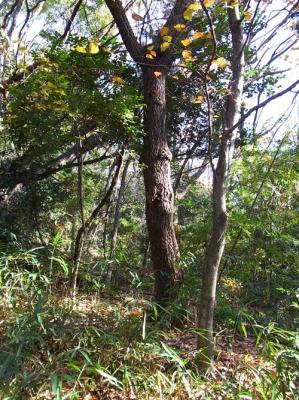 カブトの木
