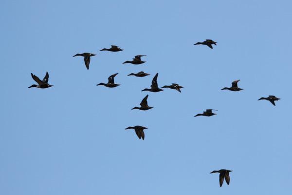 ハシビロガモ飛翔