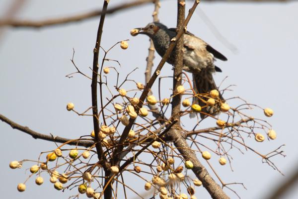 センダンを食べるヒヨドリ