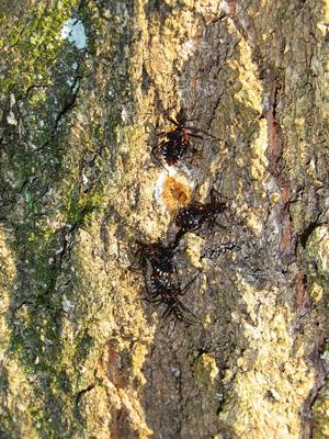 コナラに出来たカシノナガキクイムシの穴