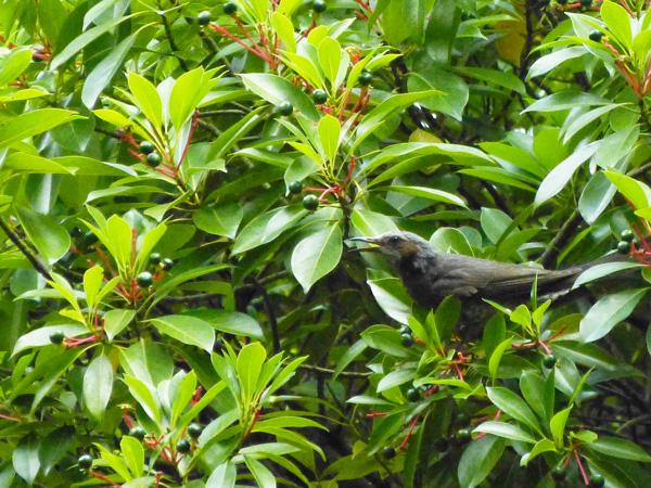 ヒヨドリの親鳥