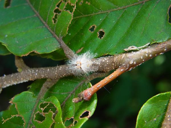 アミガサハゴロモ幼虫