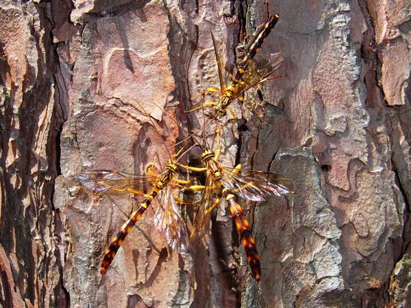 オオホシオナガバチ