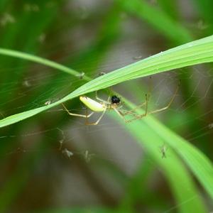 シコクアシナガグモ