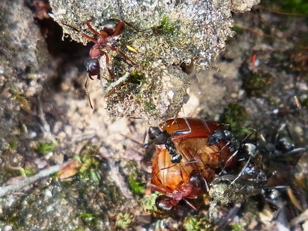 赤アリと黒アリ