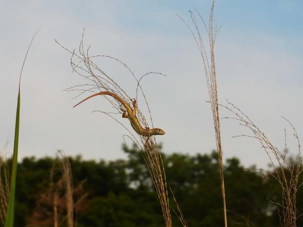 ススキの上のカナヘビ