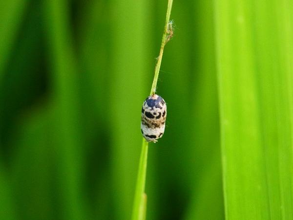 ホウネンタワラチビアメバチの繭