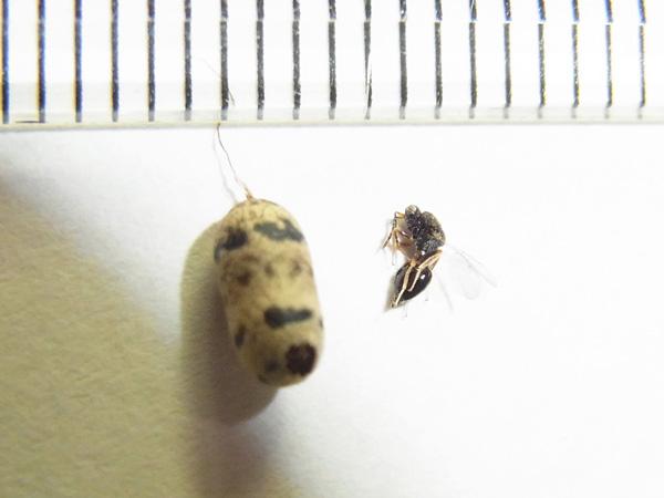 ホウネンタワラチビアメバチの繭から出たハチ