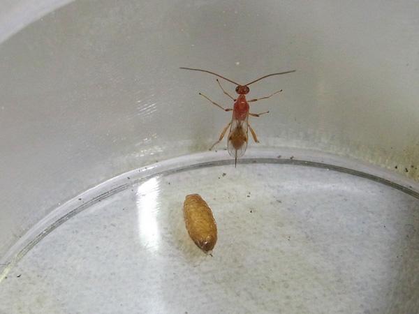 不明の繭から出たハチ