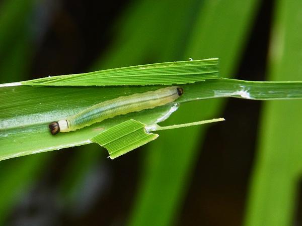 イチモンジセセリの幼虫