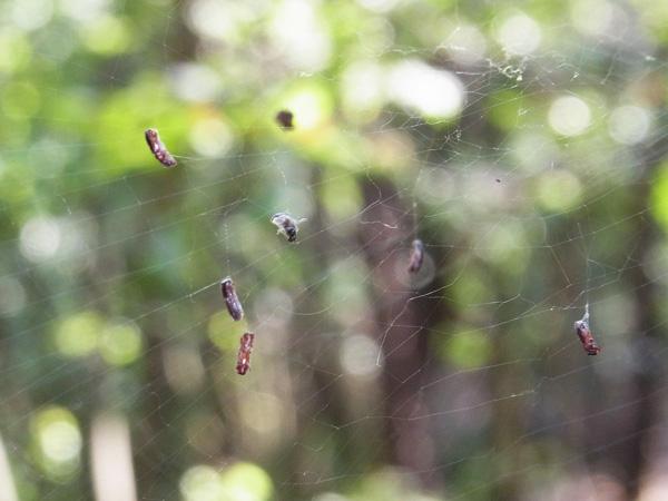 クモの網にかかったカシノナガキクイムシ