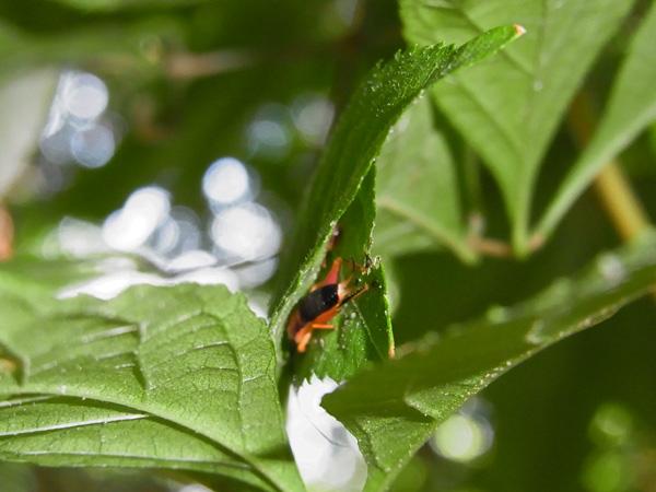 アオマツムシ若齢幼虫