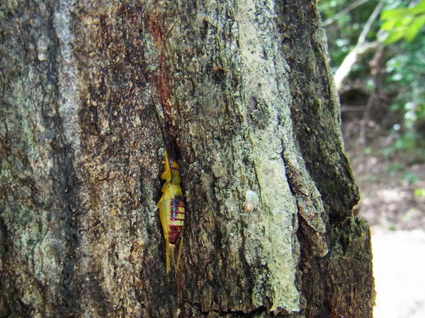 アオマツムシ幼虫