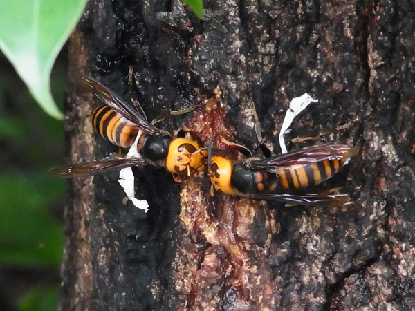 コヨリのついたスズメバチ